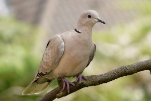 animal, bird, dove