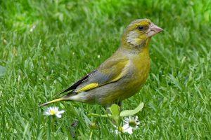 animal, bird, greenfinch