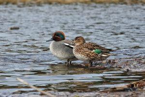 animal, duck, teal