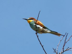 bee-eater, ave, branch