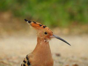 bird, ave, hoopoe