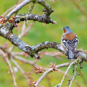 bird, chaffinch, wildlife