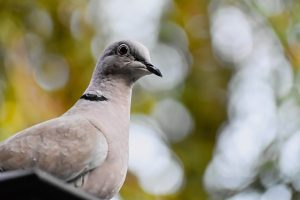 bird, dove, collared