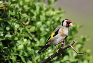 bird, goldfinch, nature