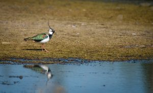 bird, lapwing, colourful