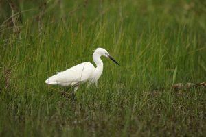 bird, little egret, wildlife