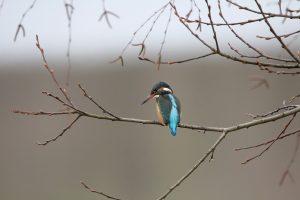 birds, kingfisher, bird