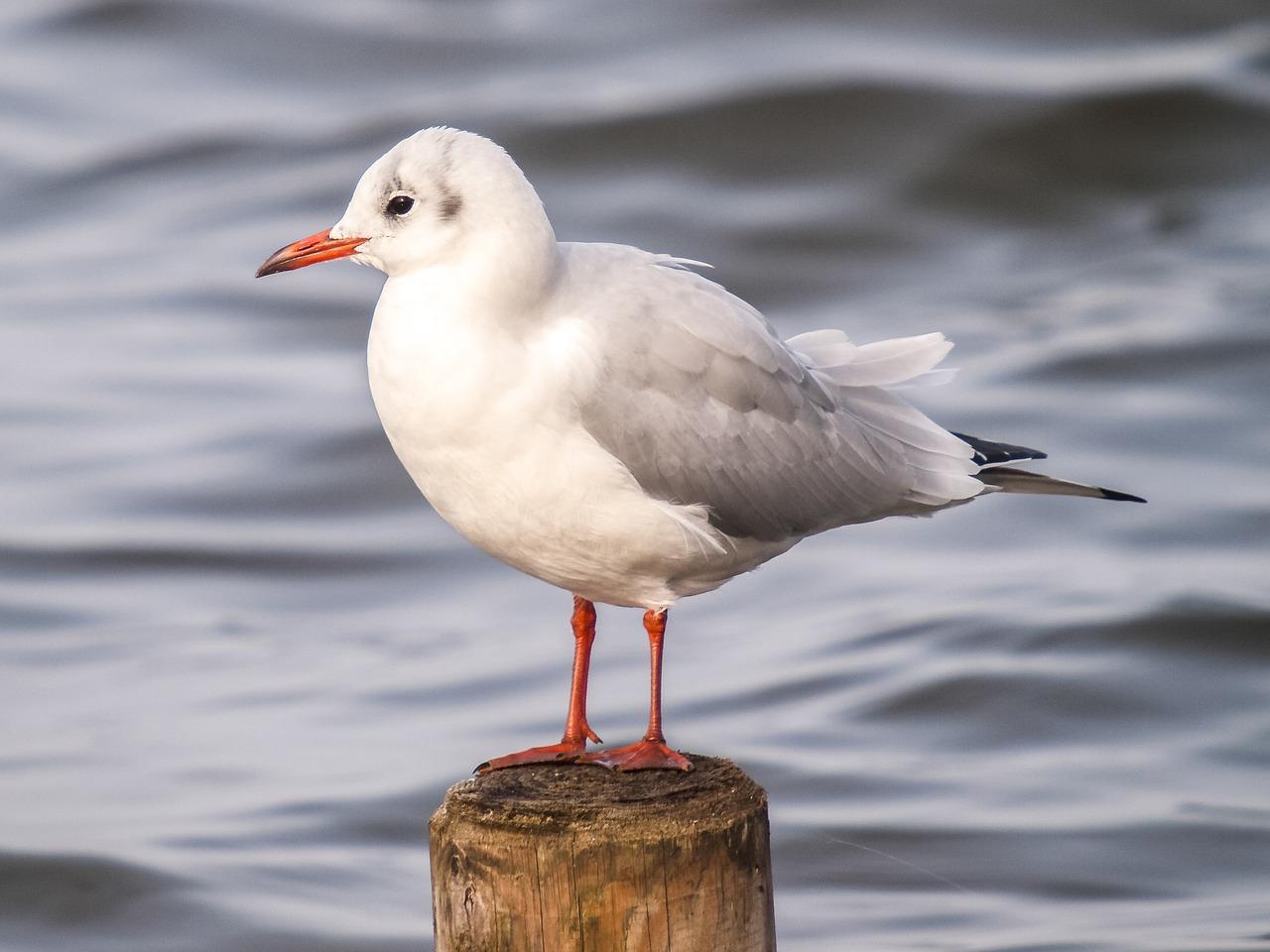 black headed gull, seagull, water bird