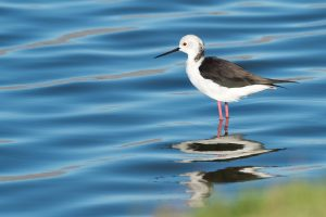 black-winged stilt, bird, seabird