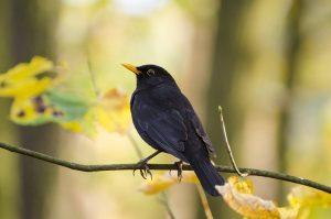 blackbird, bird, animal
