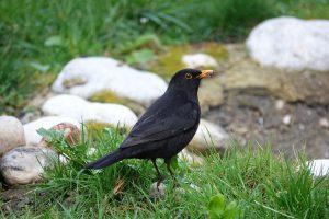 blackbird, foraging, spring