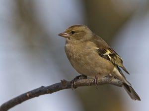 chaffinch females, chaffinch, fink