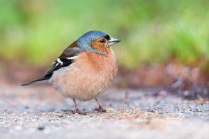 chaffinch, finch, bird