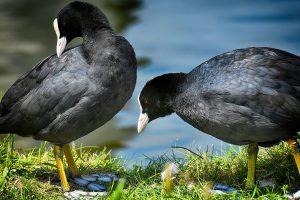 coot, water bird, animal world