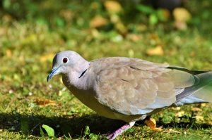 dove, collared, bird