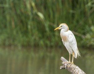 egret, cattle, bird