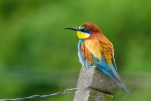 european bee eater, bird, nature