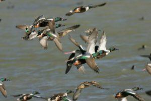 flying ducks, ducks, northern shovelers
