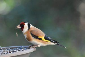 goldfinch, bird, garden