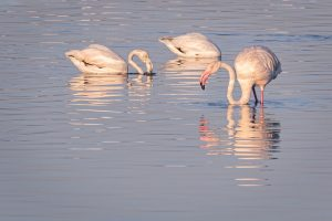 greater flamingoes, flamingoes, swan