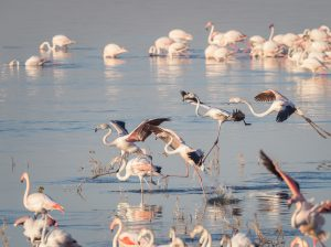 greater flamingoes, flamingos, birds