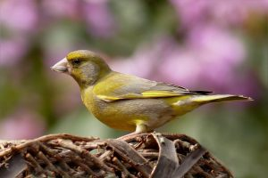 greenfinch, bird, foraging