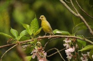 greenfinch, fink, bird