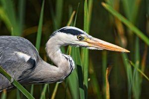 grey heron, heron, wading bird