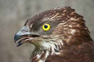 honey buzzard, raptor, bird