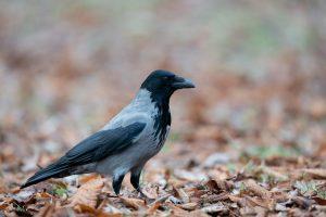 hooded crow, corvus cornix, bird