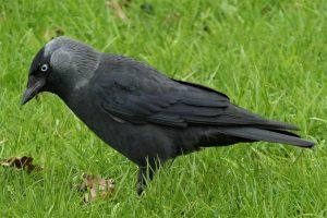 jackdaw, bird, grass
