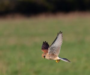 kestrel, hunting, flying
