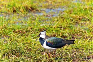 lapwing, bird, animal