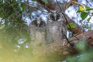 long-eared owl, asio otus, owl