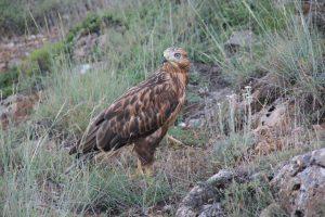 long-legged buzzard, on the prowl, predator
