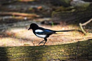 magpie, bird, animal
