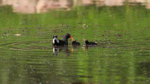 moorhen, reed, pond
