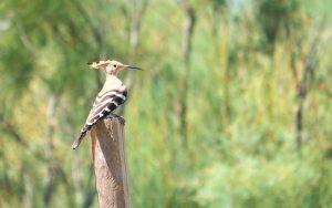 nature, birds, hoopoe