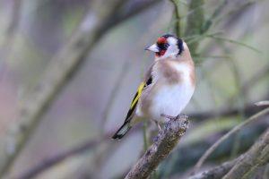 nature, goldfinch, finch
