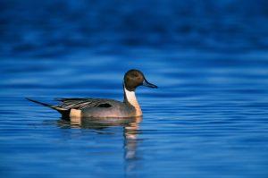 northern pintail duck, drake, swimming