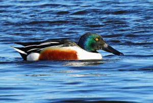 northern shoveler, duck, plumage