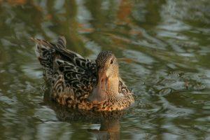 northern shoveler, duck, swimming
