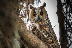 owl, long-eared owl, bird