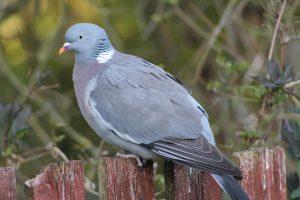 pigeon, bird, woodpigeon