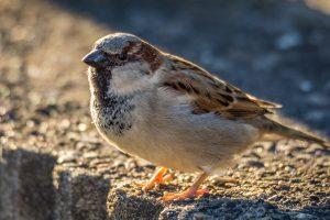 sperling, sparrow, bird