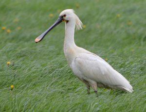 spoonbill, bird, nature