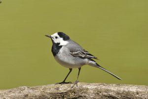 white wagtail, bird, nature