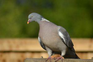 woodpigeon, pigeon, side-forward view