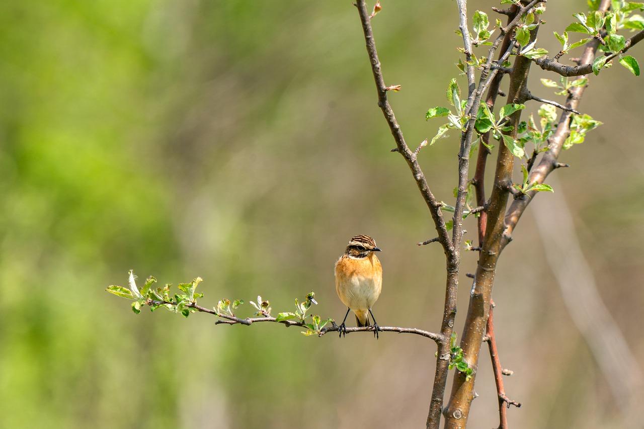 whinchat, saxicola rubetra, bird