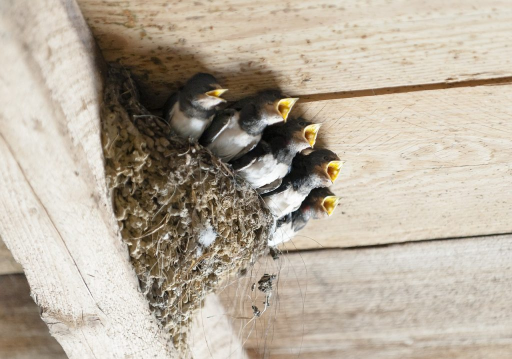 swallows, bird's nest, animal